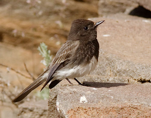 Black Phoebe, Sayornis nigricans, photo © by Robert Shantz
