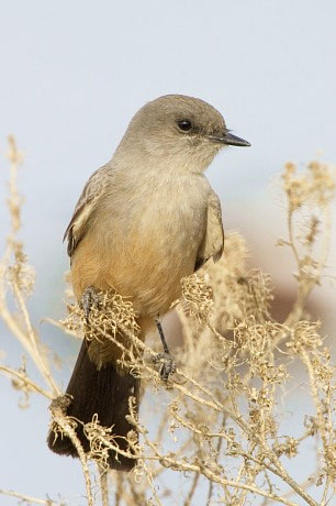 Say's Phoebe, Sayornis saya photo © by Robert Shantz