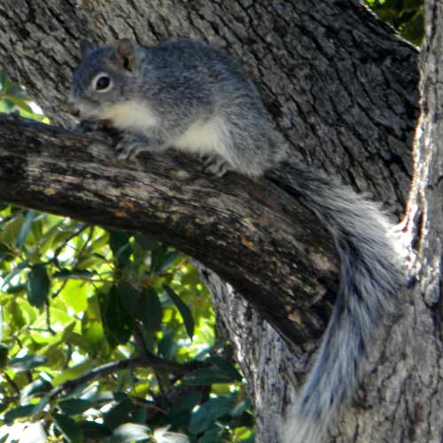 Arizona Gray Squirrel, Sciurus arizonensis, © by Michael Plagens, Sept. 2010