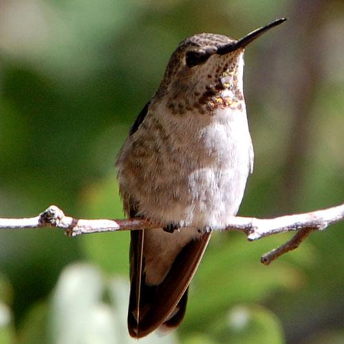 Broad-tailed Hummingbird, Selasphorus platycercus, photo © by Michael Plagens