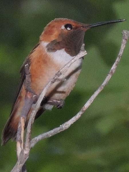 Rufous Hummingbird, Selasphorus rufus, photo © by Michael Plagens