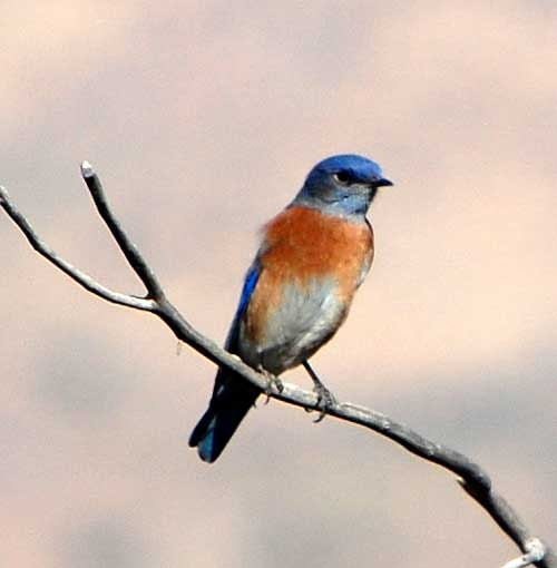 Western Bluebird, Sialia mexicana, photo © by Michael Plagens