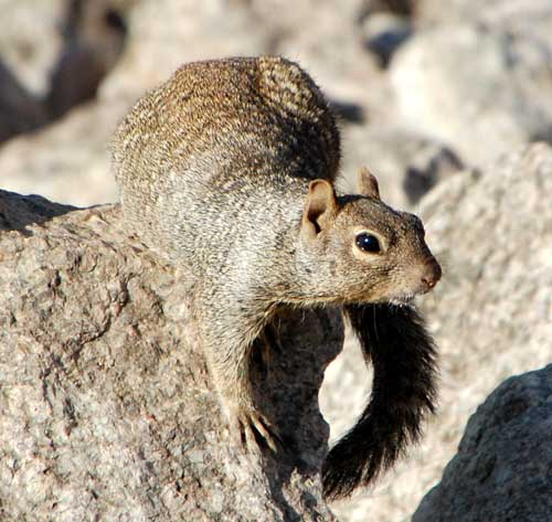 Rock Squirrel, Spermophilus variegatus, photo © by Michael Plagens
