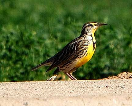 Western Meadowlark, Sturnella neglecta, photo © by Michael Plagens