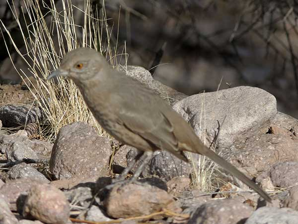 Bendire's Thrasher, Toxostoma bendirei, photo © by Mike Plagens