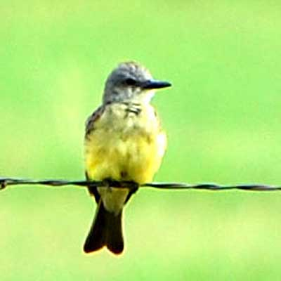 Tropical Kingbird, Tyrannus melancholicus, © by Michael Plagens, Sept. 2010