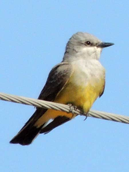 Western Kingbird, Tyrannus verticalis, photo © by Michael Plagens