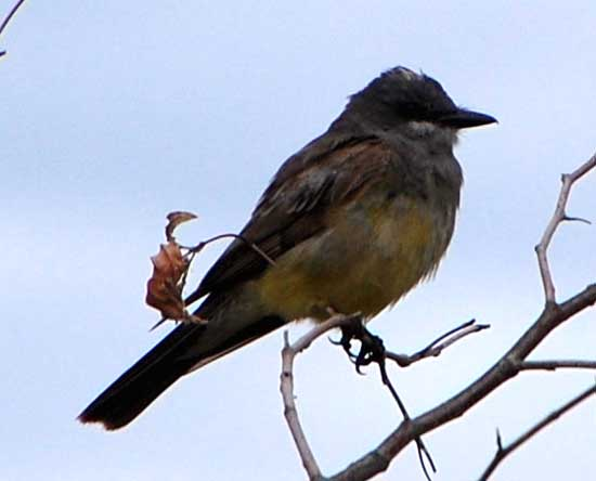 Cassin's Kingbird, Tyrannus vociferans, photo © by Michael Plagens