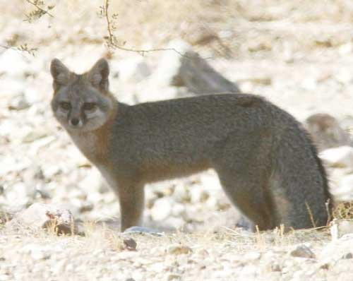 Gray Fox, Urocyon cinereoargenteus, photo © by Robert Shantz