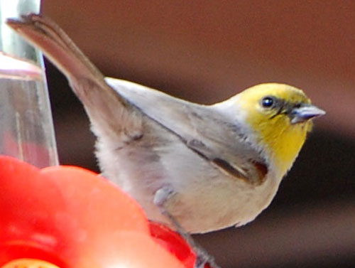 verdin attempting to get sugar water from a hummingbird feeder