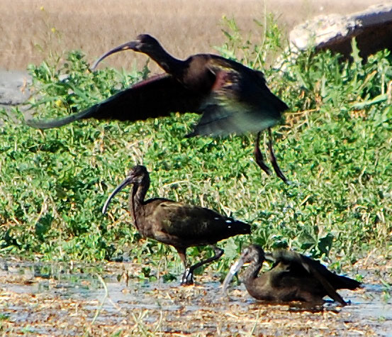 White-faced Ibis, Plegadis chihi, Photo © by Michael Plagens