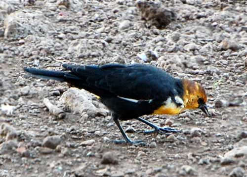 Yellow-headed Blackbird, Xanthocephalus xanthocephalus, photo © by Michael Plagens