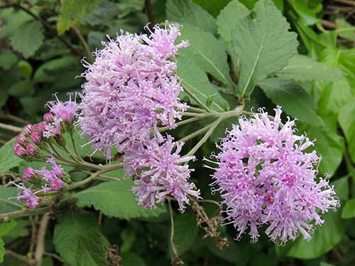 Vernonia species from Taita Hills
