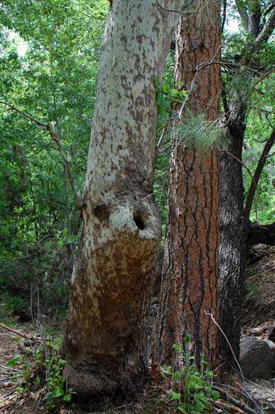 Arizona Sycamore growing with Ponderosa Pine in Pine Mountain Wilderness